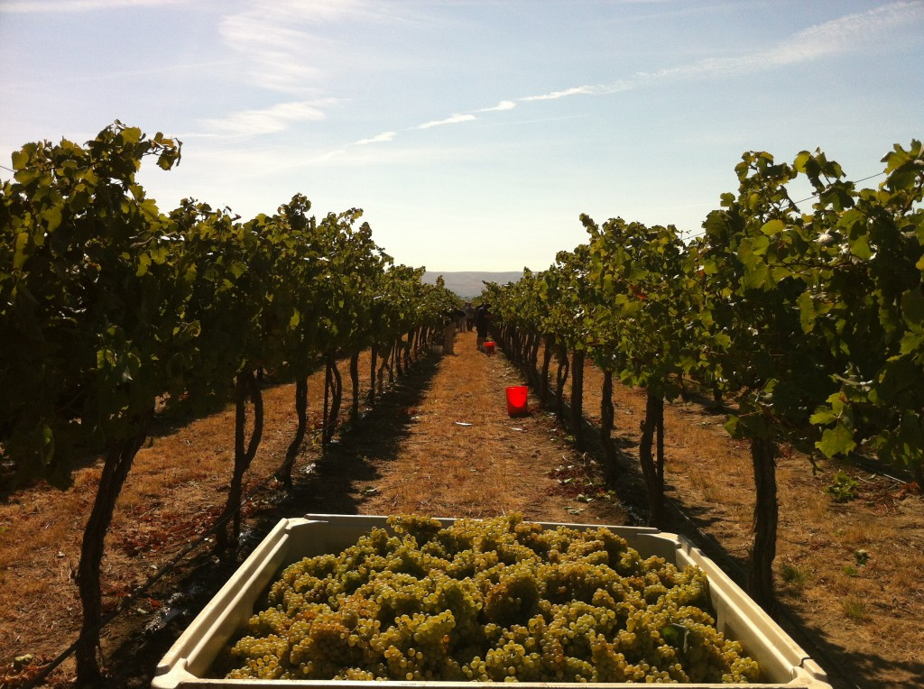 Chardonnay_grapes_harvested_from_Wykoff