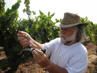 checking chenin blanc grapes